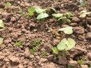 Mark Lea - clover into buckwheat.jpg