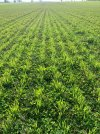Winter oats establishing in clover - James Alexander's farm 2.jpg