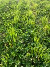 Winter oats establishing in clover - James Alexander's farm.jpg