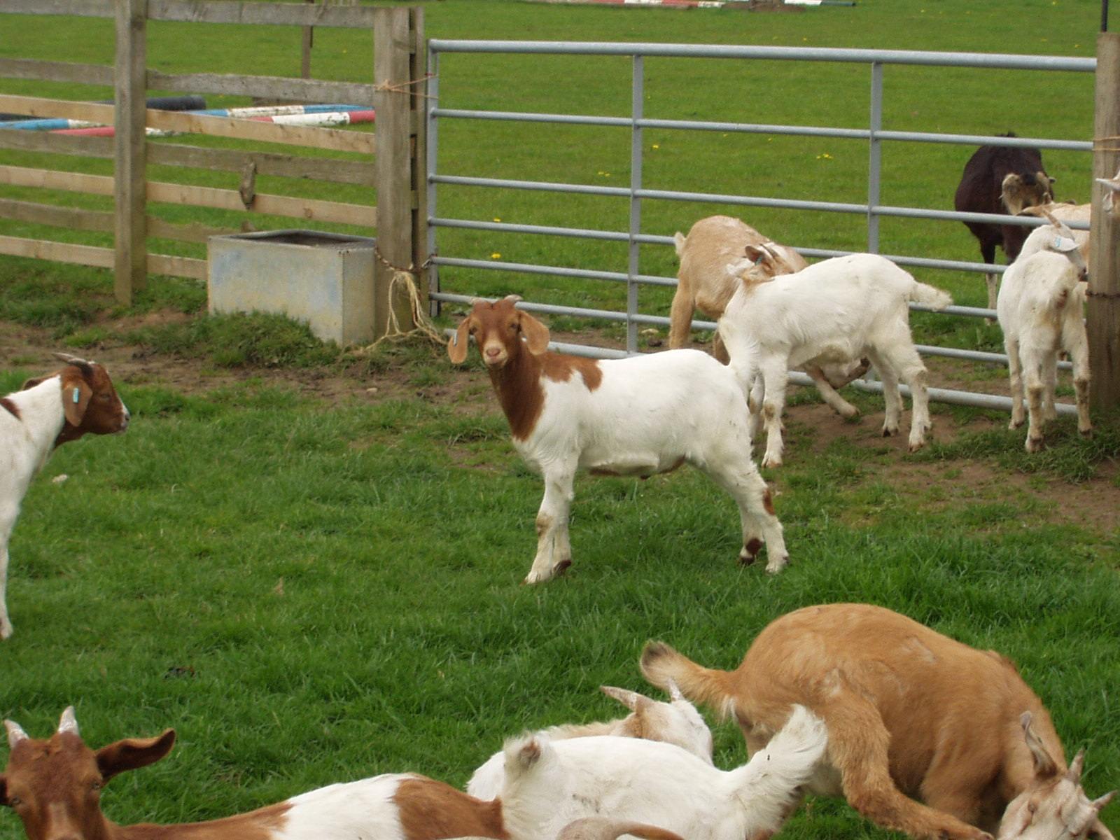 Meat Goats   The Farming Forum