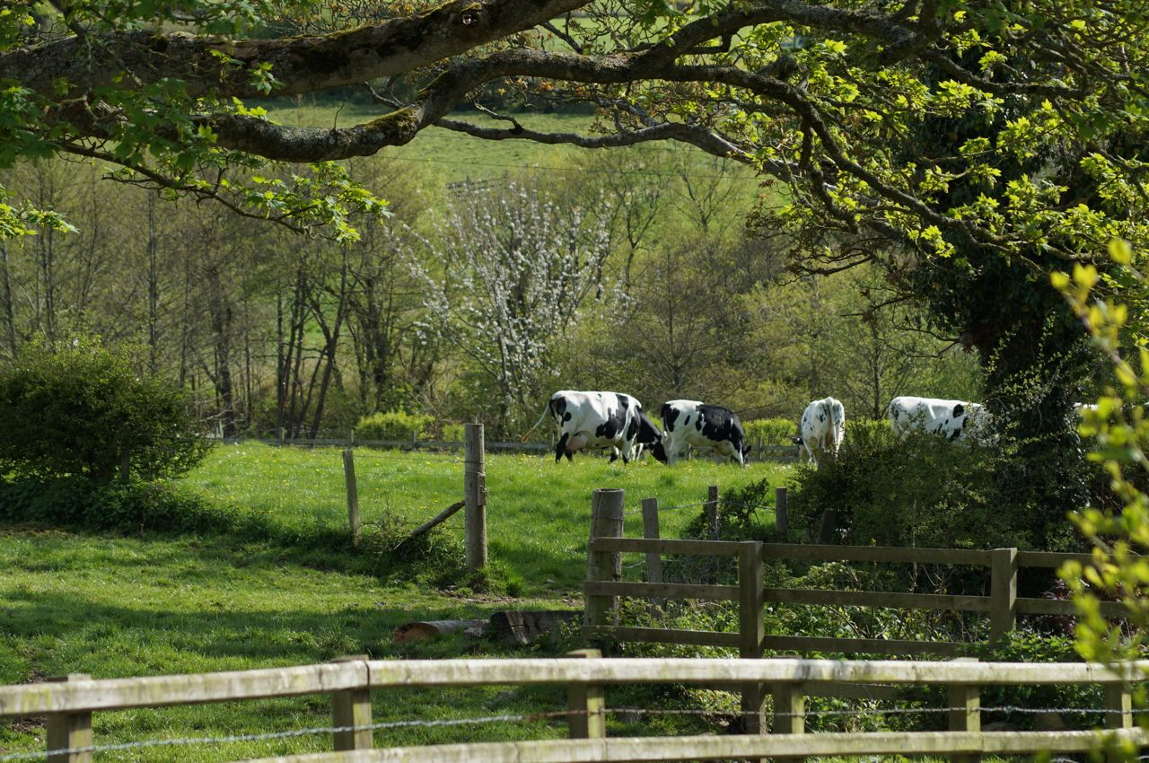 cows7.jpg