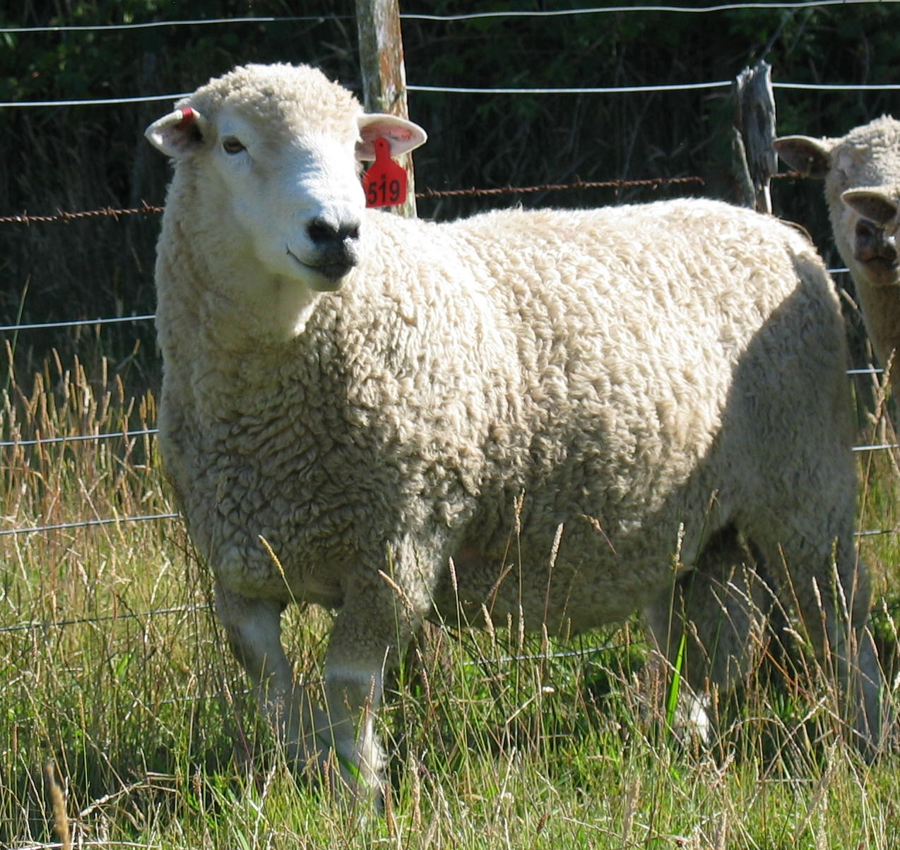 Global Ovine blog 4: Breeding sheep resistant to worms | The