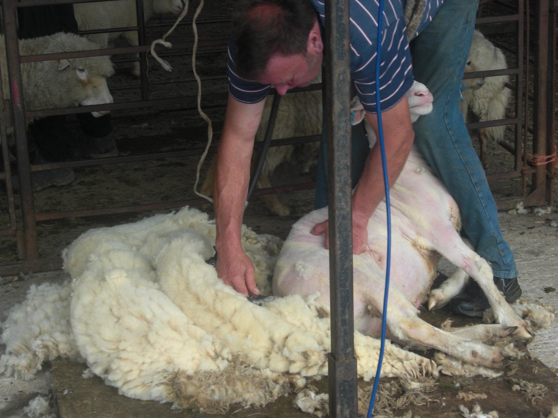 shearing 18 8.jpg