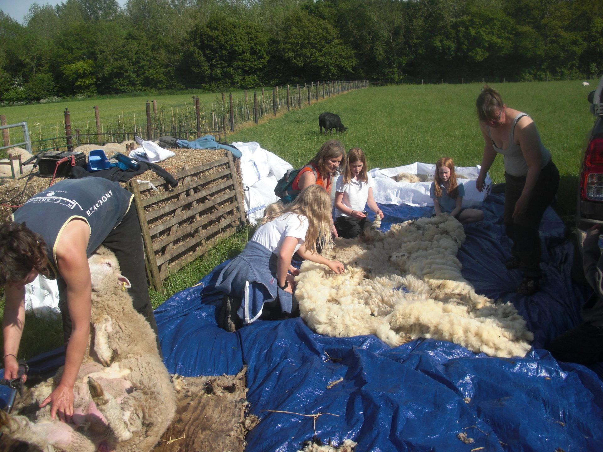 shearing 19 2.jpg