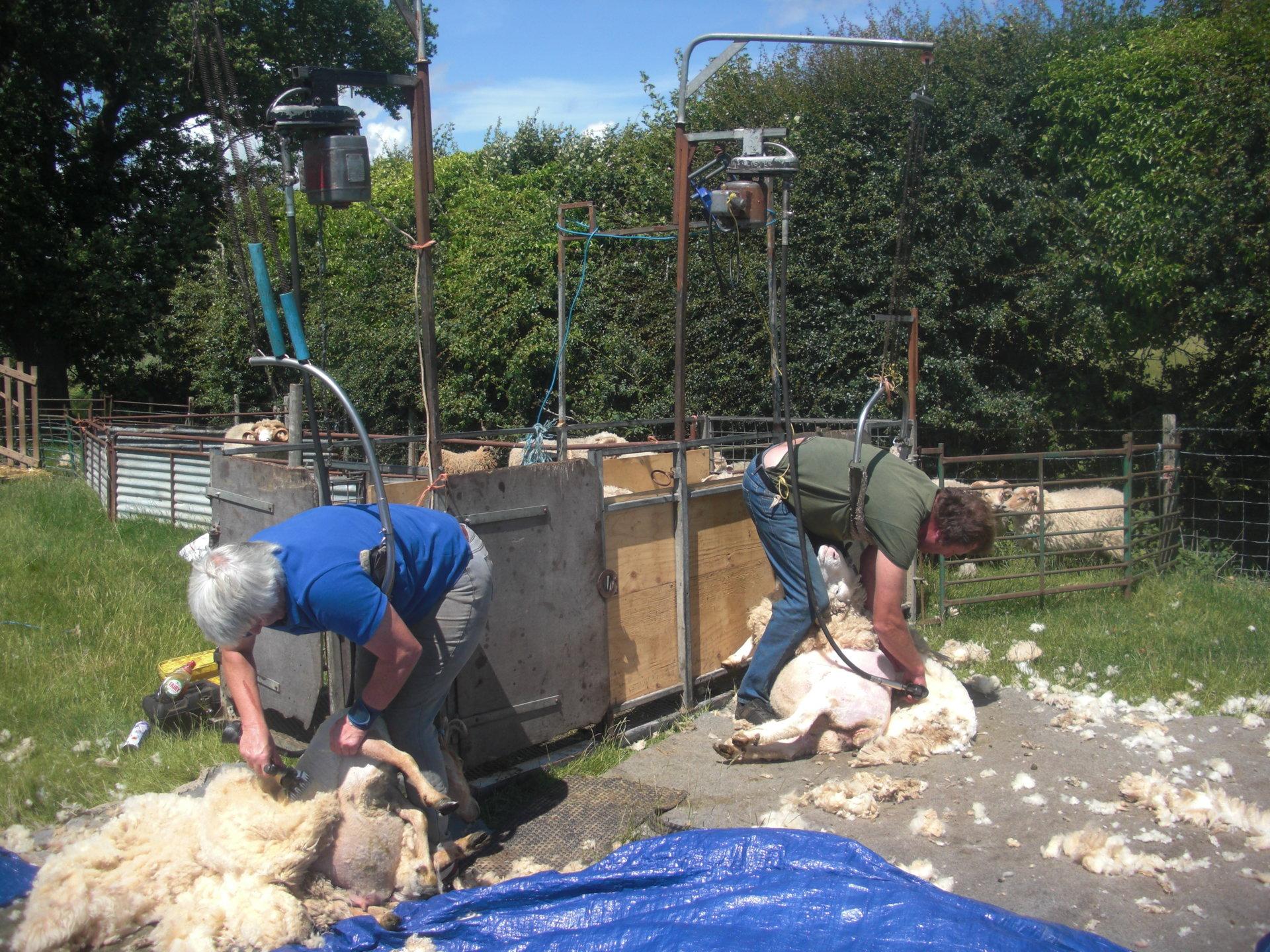 shearing 19 4.jpg