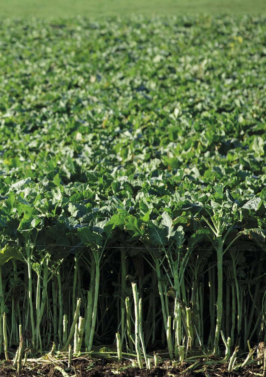 GGB_AGRI_107_Brassica_Growers_guide_2020_Page_15.jpg