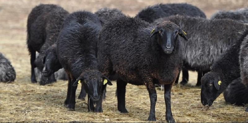 Karakul-sheep-pic.jpg