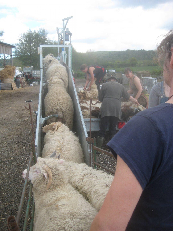 shearing 21 1.jpg