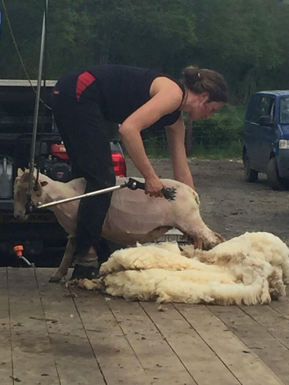 shearing 21 5.jpg