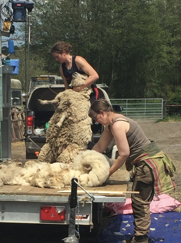 shearing 21 7.jpg