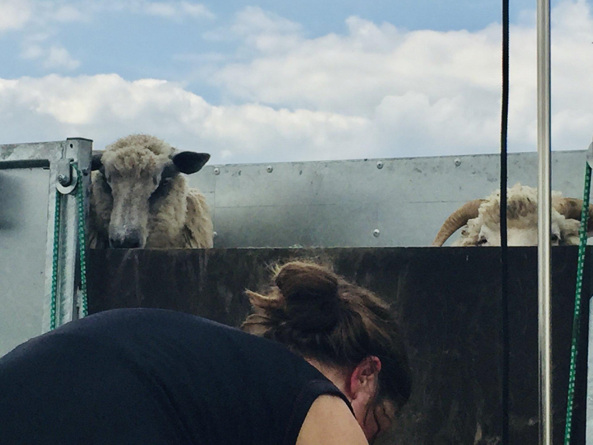 shearing 21 10.jpg