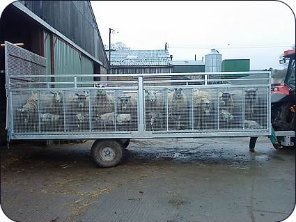 Moving ewes and young lambs   The Farming Forum