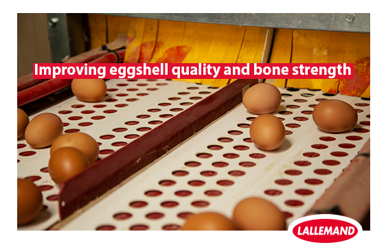 improving eggshell quality and boan strength.png