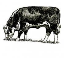 The Ruminant