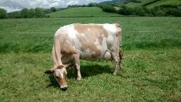 Cows 'n grass