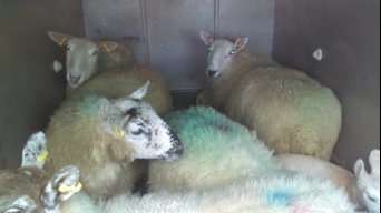 Sheep92