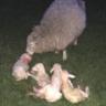 sheepman1